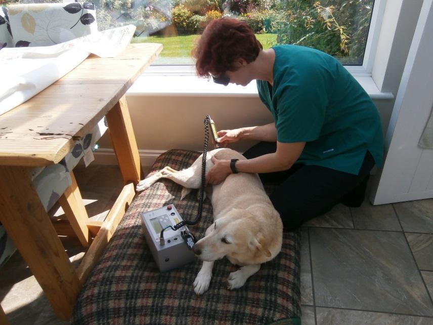 Lasering a labrador