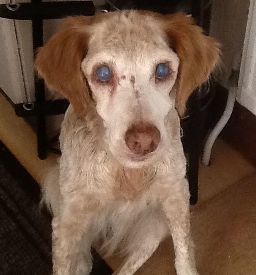 maisie an old dog
